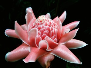 800px-Torch_Ginger_(macro)